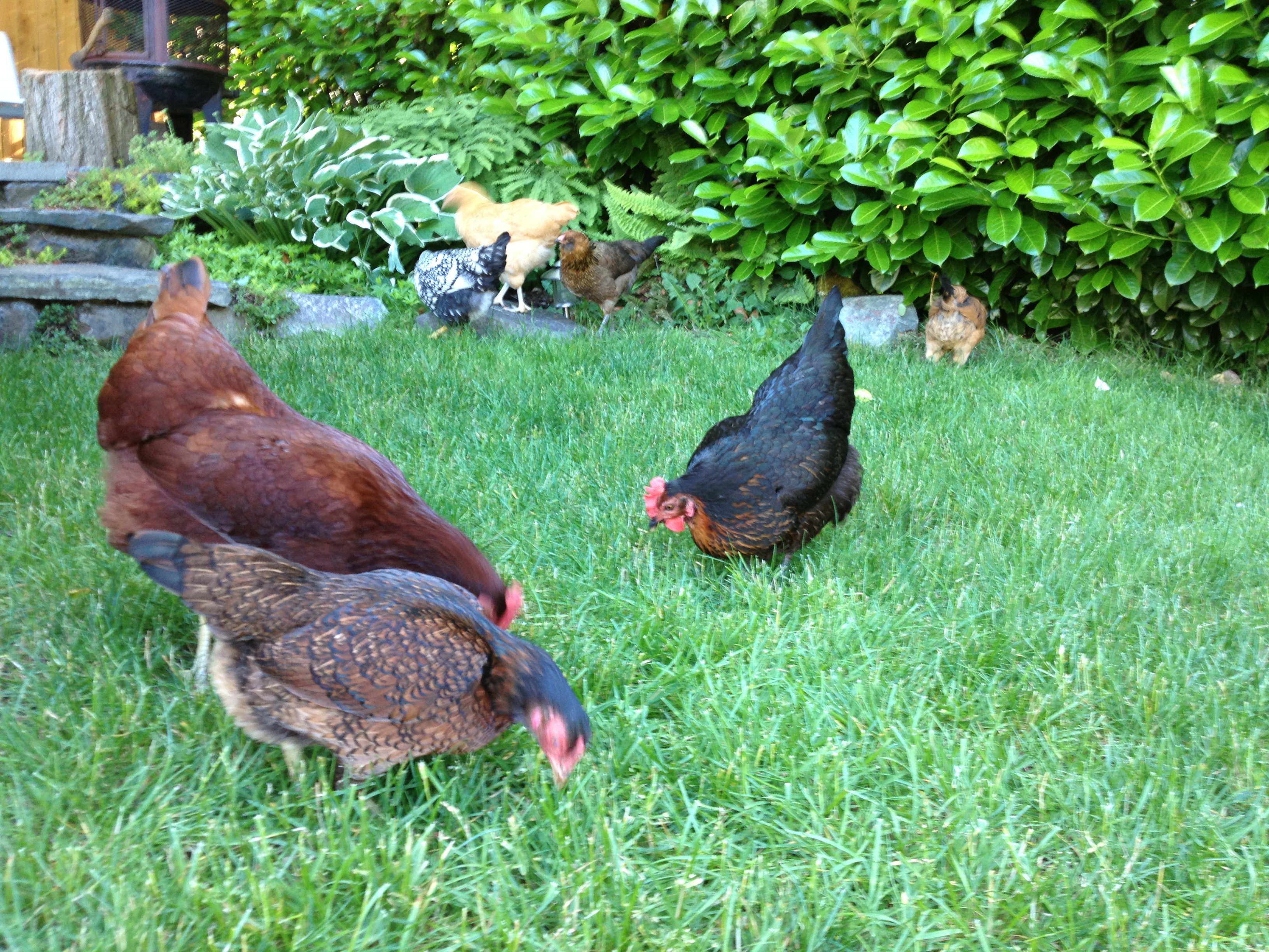 Urban Backyard Chickens : We?ve had chickens for three years now They?ve become a wonderful
