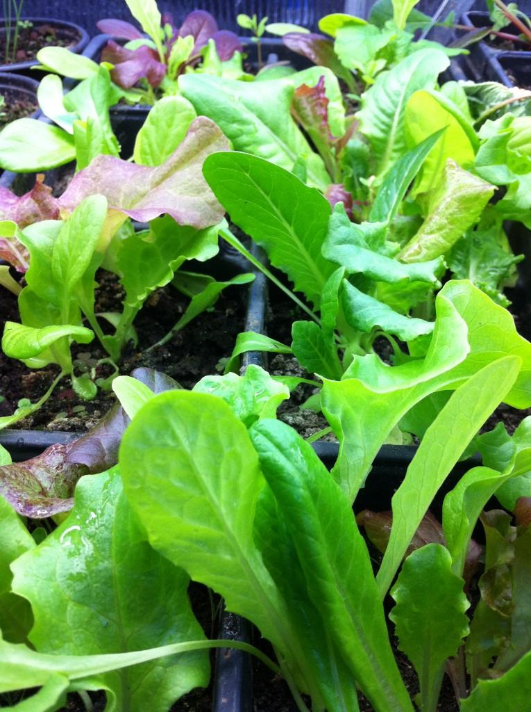 Winter Greenhouse Lettuce