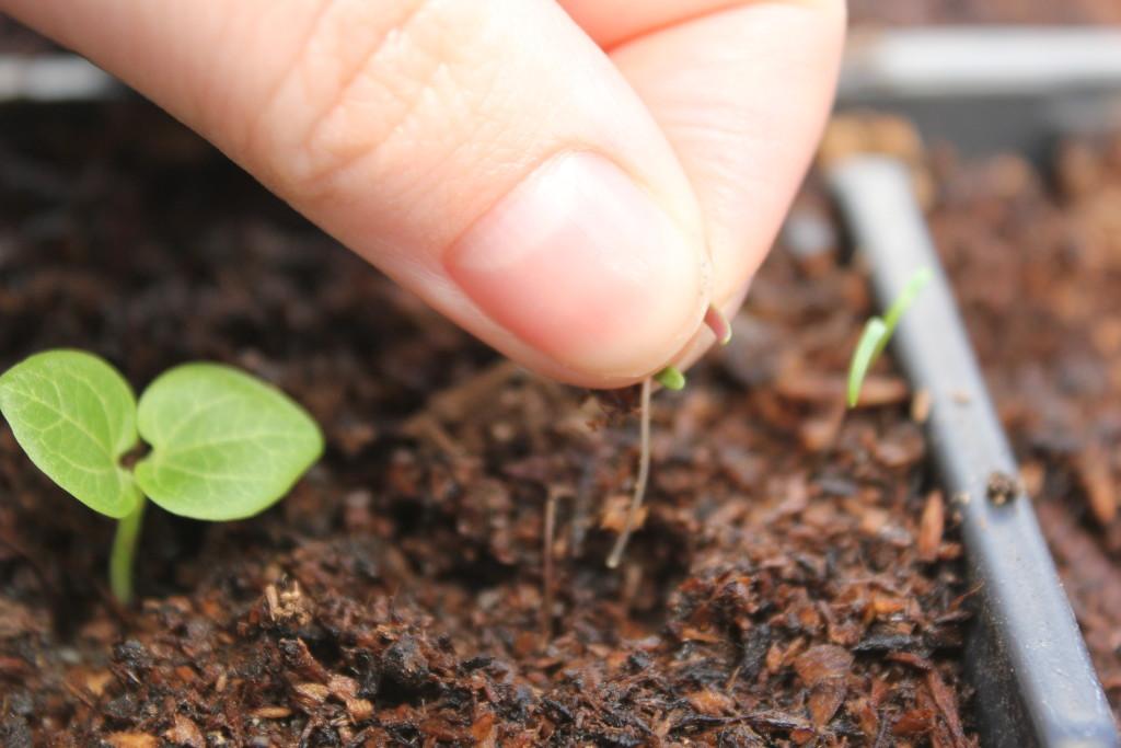 Greenhouse weeds