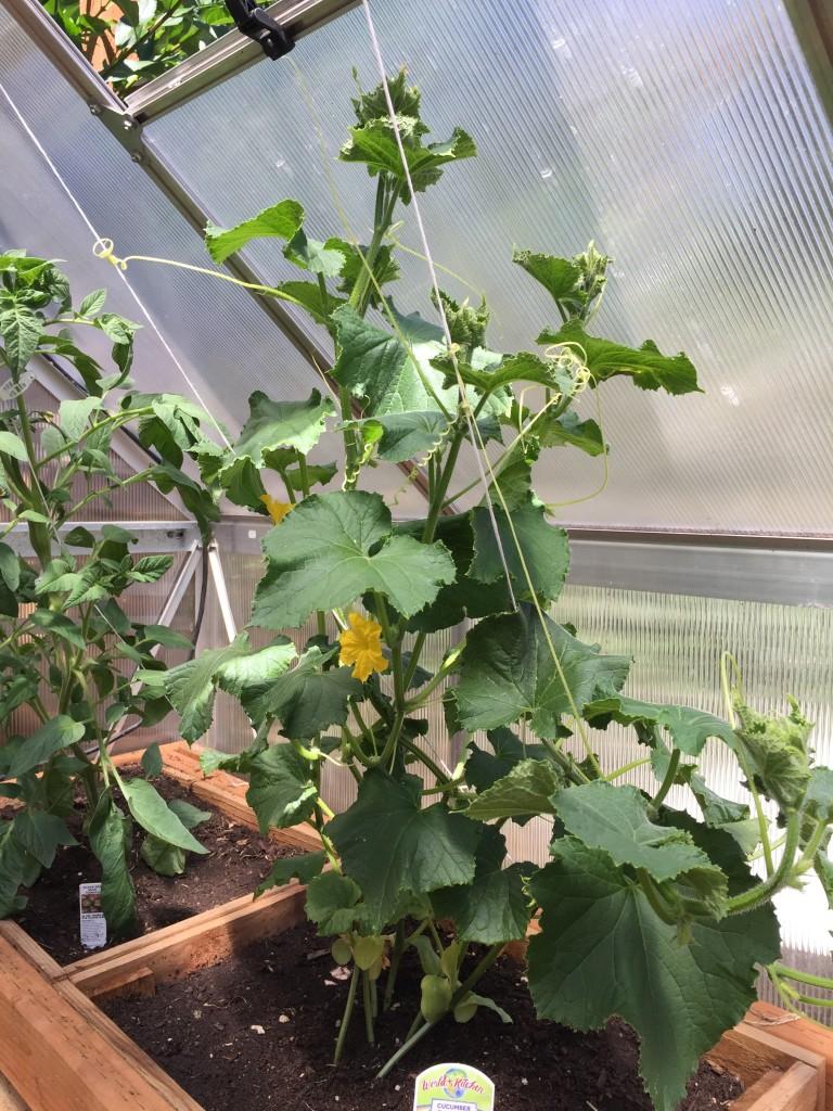 early greenhouse cucumbers